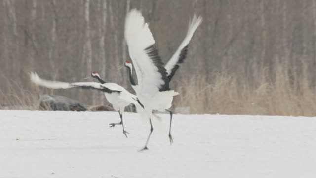 red crowned cranes (grus japonensis) jump and display in snow. japan - crane stock videos & royalty-free footage