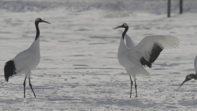red crowned cranes (grus japonicus) jump and display in snow. japan. - ツル点の映像素材/bロール