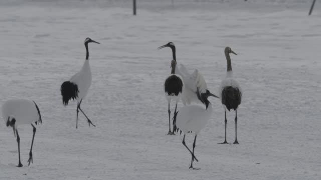 red crowned cranes (grus japonicus) walk through snow. japan. - ツル点の映像素材/bロール