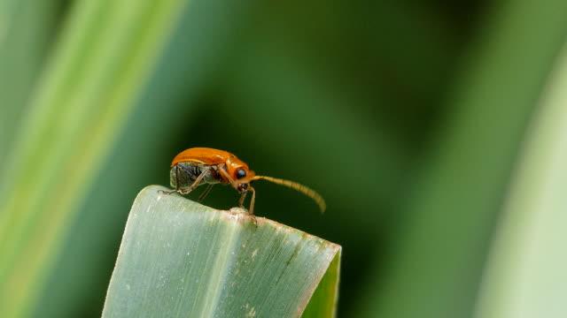 red cucurbit leaf beetle on green leaf. - botany stock videos & royalty-free footage