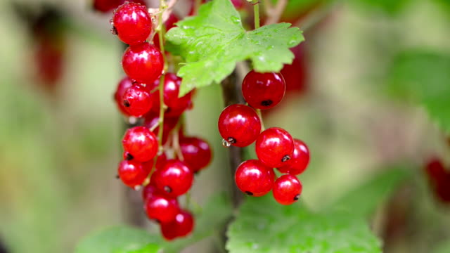 red currant - currant stock videos & royalty-free footage