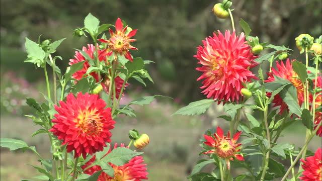 red dahlias bloom in a meadow. - ダリア点の映像素材/bロール