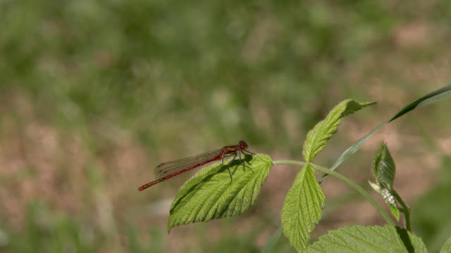 red damselfly resting on a leaf before taking off - invertebrate stock videos & royalty-free footage