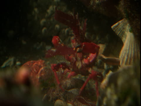 a red decorator crab displays on the ocean floor. - anacortes stock videos & royalty-free footage