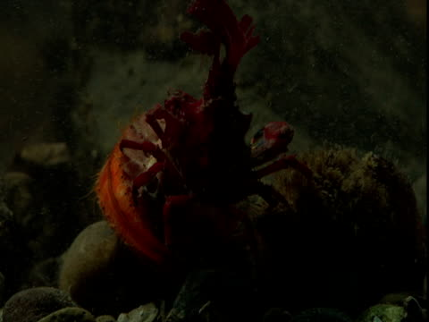 a red decorator crab hovers over rocks on the ocean floor. - anacortes stock videos & royalty-free footage