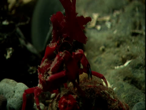 a red decorator crab picks at rocks on the ocean floor. - anacortes stock videos & royalty-free footage