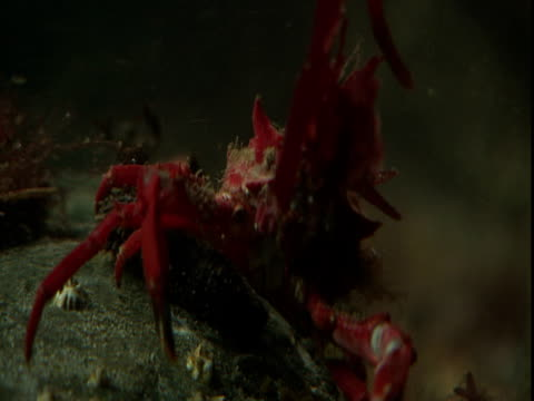 vidéos et rushes de a red decorator crab raises its body and forelegs off the ocean floor. - membre partie du corps