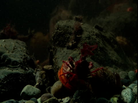 a red decorator crab slowly moves across shells and rocks on the ocean floor. - anacortes stock videos & royalty-free footage