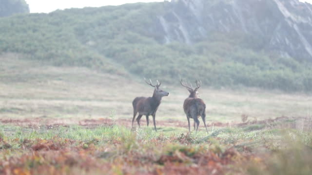 red deer after fight - scottish highlands stock videos & royalty-free footage