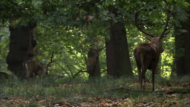 red deer (cervus elaphus) and fallow deer (dama dama) in woodland, richmond park, london, uk - animal stock videos & royalty-free footage