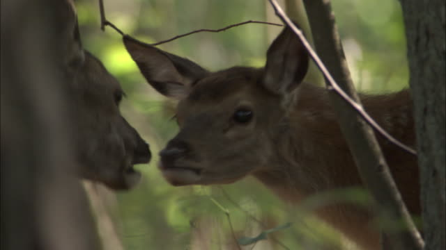 stockvideo's en b-roll-footage met red deer and fawn in forest, bialowieza, poland - reekalf