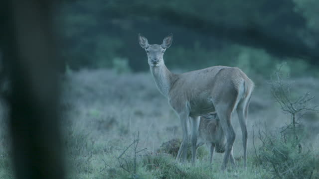 red deer (cervus elaphus) and fawn suckling, new forest - fawn stock videos & royalty-free footage