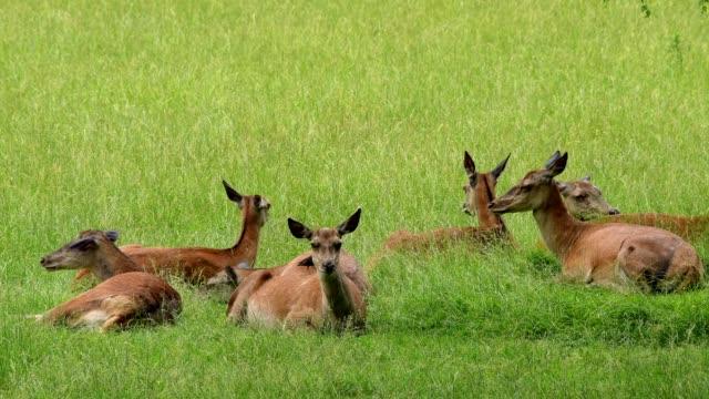 Red deer, Cervus elaphus and Common starling, Sturnus vulgaris, group of female lying in summer