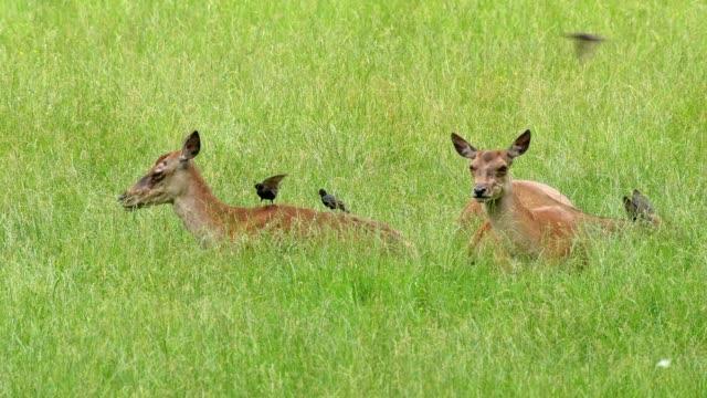 red deer, cervus elaphus and common starling, sturnus vulgaris, group of female lying in summer - アカシカ点の映像素材/bロール