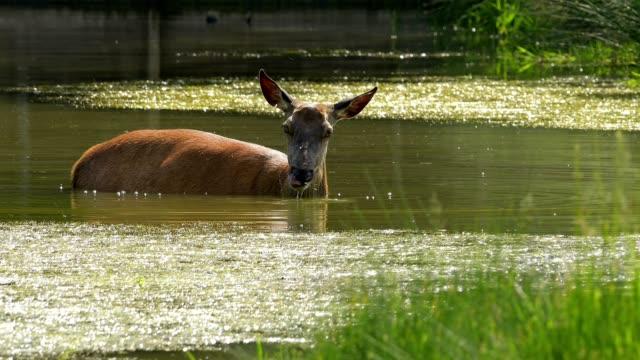 vídeos de stock, filmes e b-roll de red deer, cervus elaphus, female in pond - corça