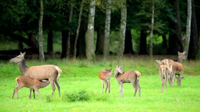 red deer, cervus elaphus, female with young, europe - アカシカ点の映像素材/bロール