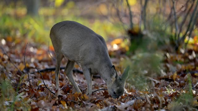 vídeos de stock, filmes e b-roll de red deer, cervus elaphus, in forest - corça