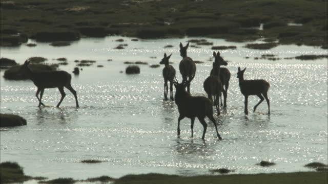 ws red deer, cervus elaphus in silhouette crossing river in the hebrides - hebrides stock videos & royalty-free footage