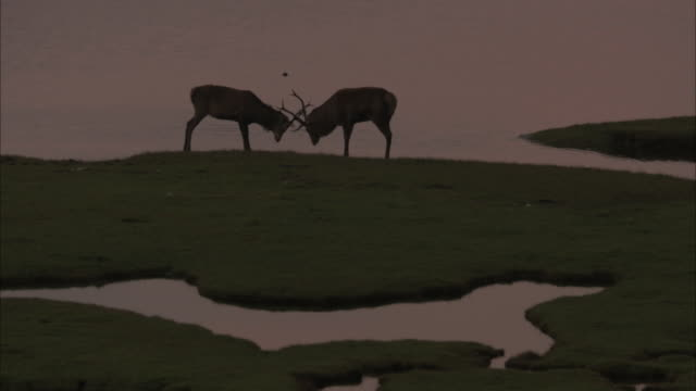 ms red deer cervus elaphus in silhouette with two stags fighting in the hebrides - hebrides stock videos & royalty-free footage