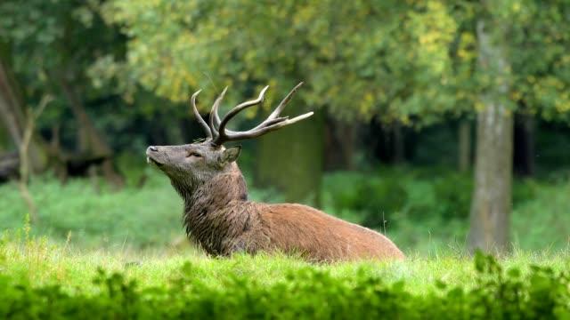 red deer, cervus elaphus, male, in rutting season, europe - アカシカ点の映像素材/bロール