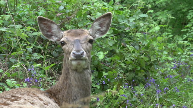 red deer, cervus elaphus, normandy, portrait of female, normandy, real time - calvados stock videos and b-roll footage