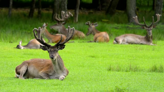 red deer, cervus elaphus, on meadow - 枝角点の映像素材/bロール