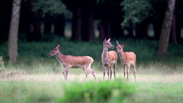Red deer, Cervus elaphus, young female, Europe
