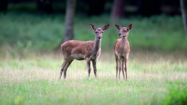 red deer, cervus elaphus, young female, europe - hirsch stock-videos und b-roll-filmmaterial