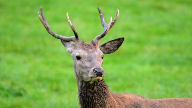 red deer, cervus elaphus, young male, in rutting season, europe - hirsch stock-videos und b-roll-filmmaterial