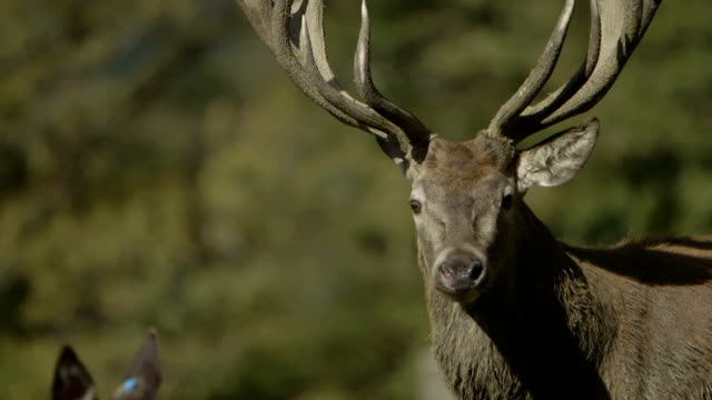 Red Deer (Hart) close-up/slow motion