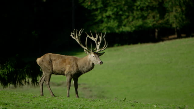 red deer (hart) close-up/slow motion - hirsch stock-videos und b-roll-filmmaterial