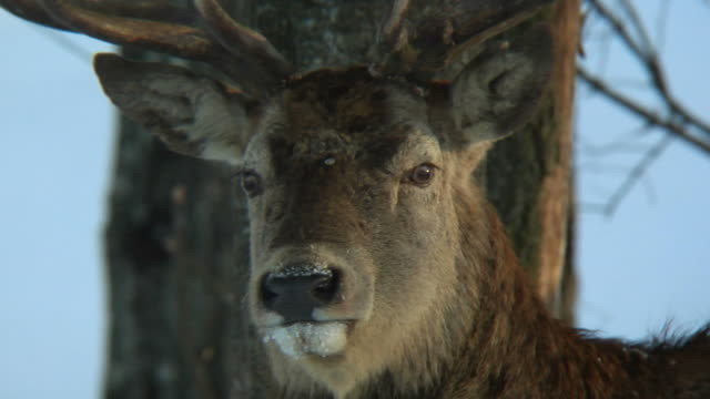 red deer  closeup - mammal stock videos & royalty-free footage