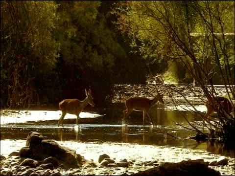 Red Deer (Cervus elaphus) cross river, Sierra Morena, Andalusia, Southern Spain