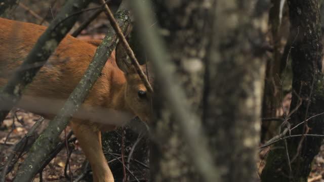 vídeos de stock, filmes e b-roll de filhote de veado vermelho na primavera (cervus elaphus), rússia - manada