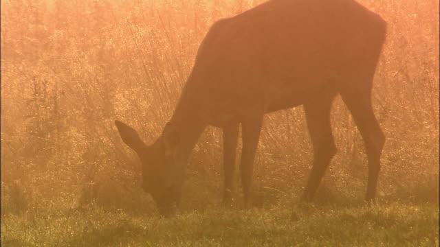 Red deer (Cervus elaphus) doe grazes at dawn in dew, Richmond Park, London, UK