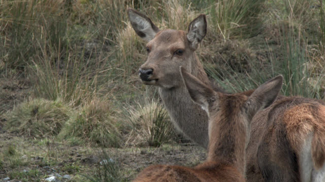 Red deer doe with a fawn in rural south west Scotland