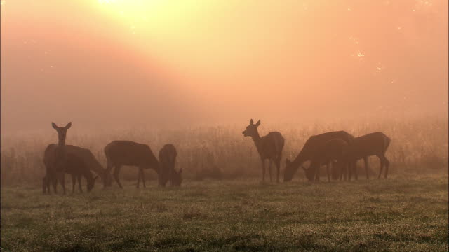 red deer (cervus elaphus) does graze at dawn in dew, richmond park, london, uk - deer stock videos & royalty-free footage