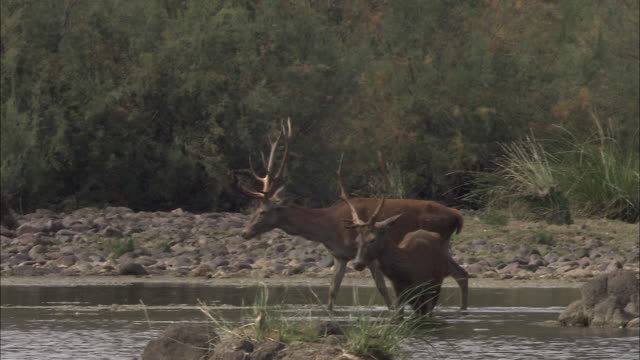 red deer (cervus elaphus) eating algae in the river jandular, sierra de andujar, andalucia, spain. filmed during very dry year when all grass had completely dried up, leaving the algae as one of the few food sources - herbivorous stock videos & royalty-free footage