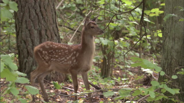 stockvideo's en b-roll-footage met red deer fawn runs away in forest, bialowieza, poland - reekalf