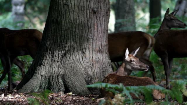 HD video red deer hinds Cervus elaphus with stag roaring