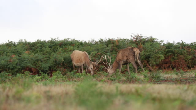 red deer fight rutting - scottish highlands stock videos & royalty-free footage