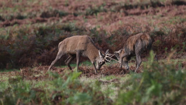 red deer fight rutting - scotland stock videos & royalty-free footage