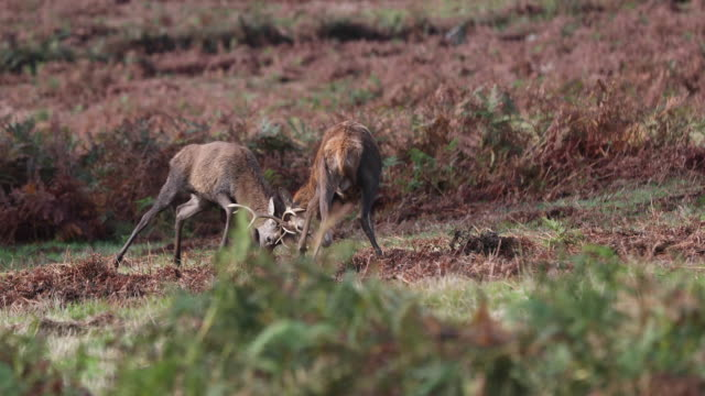 red deer fight rutting - antler stock videos & royalty-free footage