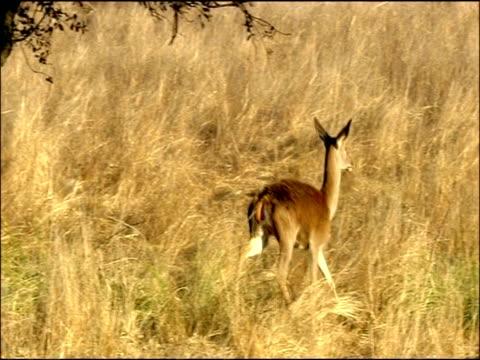 red deer (cervus elaphus) hind trots off, autumn, sierra morena, andalusia, southern spain - kronhjort bildbanksvideor och videomaterial från bakom kulisserna