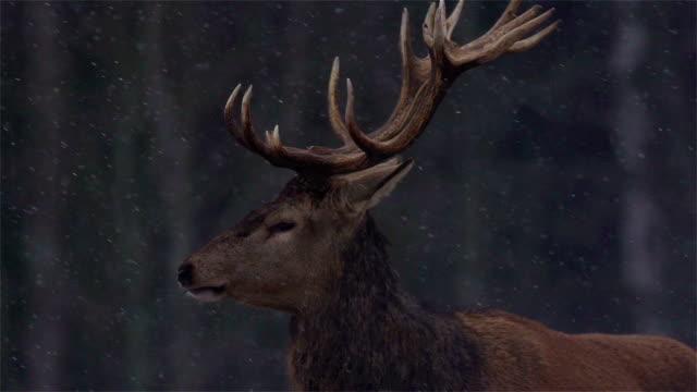 red deer in forest - kronhjort bildbanksvideor och videomaterial från bakom kulisserna