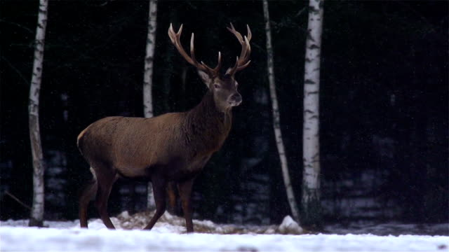 red deer in forest - deer stock videos & royalty-free footage