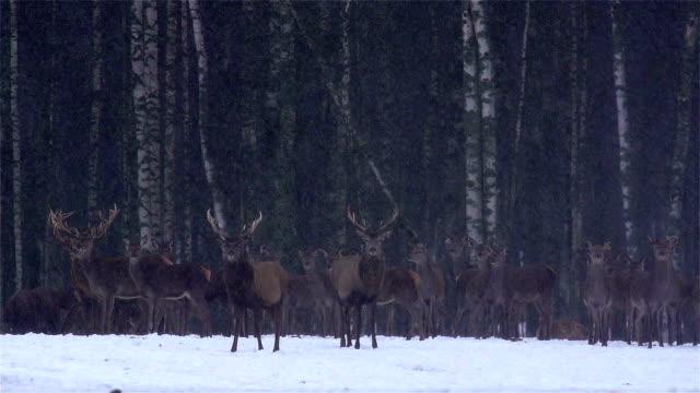 vídeos de stock e filmes b-roll de cervo em floresta - mamífero ungulado