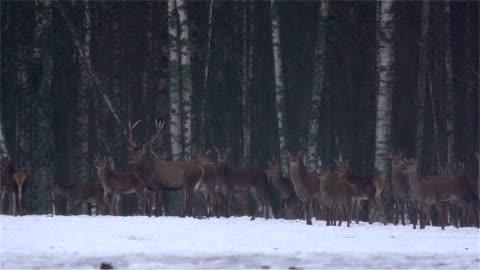 vídeos de stock, filmes e b-roll de red deer na floresta - corça