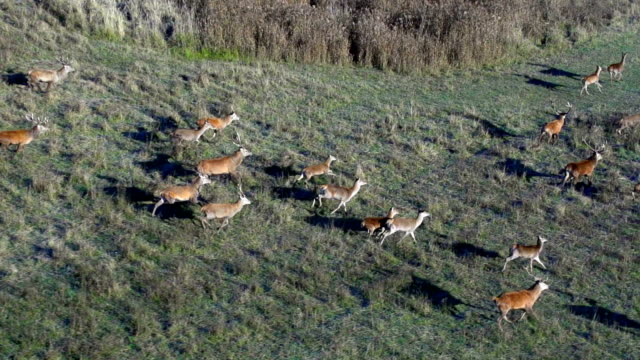 red deer im wald - rothirsch stock-videos und b-roll-filmmaterial