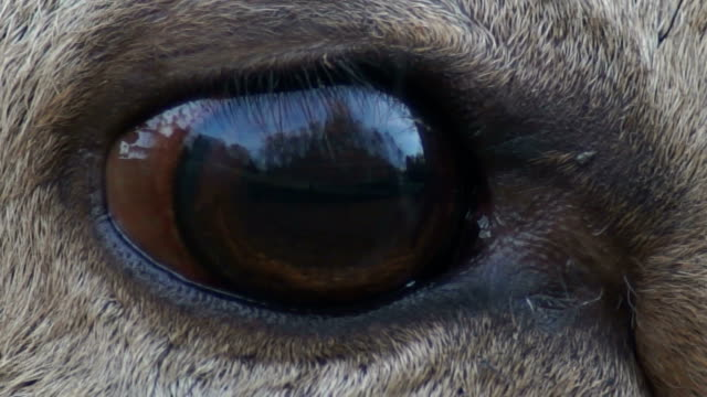 red deer in forest - animal eye stock videos & royalty-free footage